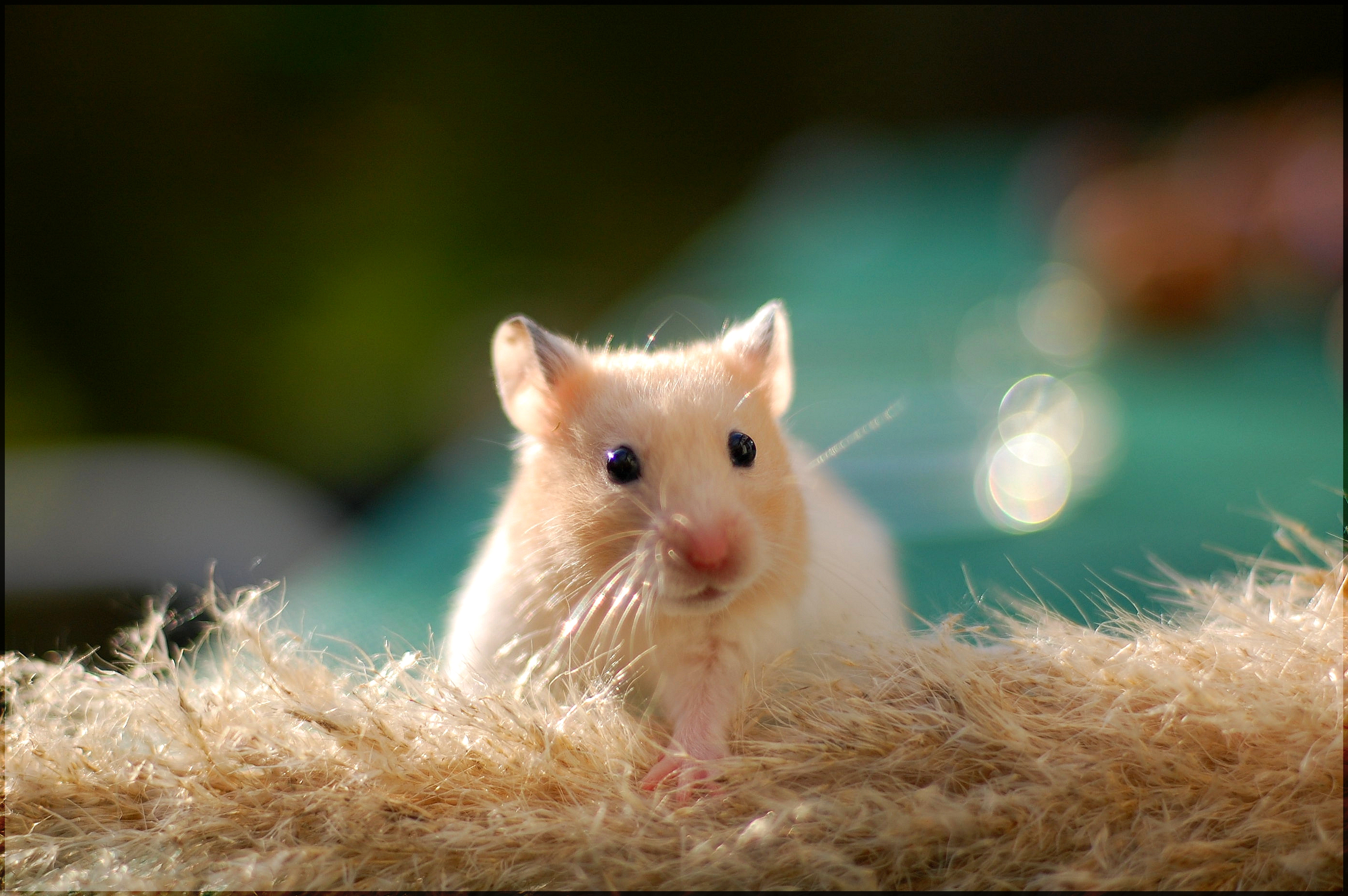 Cute-Golden-Hamster-HD-Wallpapers