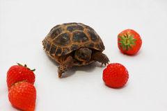 tortue-russe-et-quelque-fraise-19699411