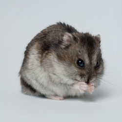 hamster-actu-nom-rongeurs