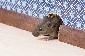 des souris dans sa maison que faire fanimaux le guide des animaux. Black Bedroom Furniture Sets. Home Design Ideas